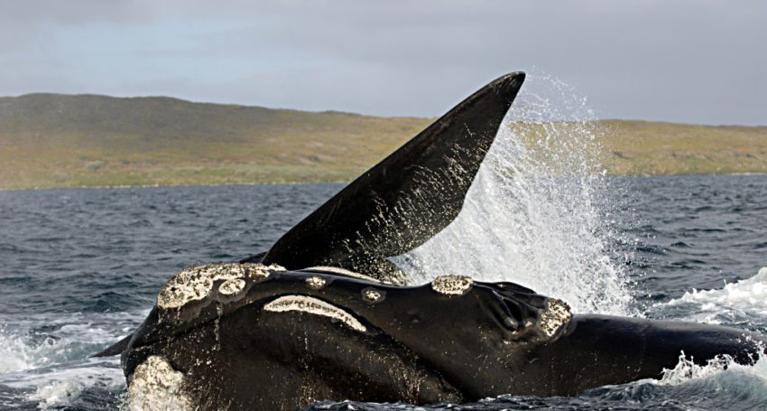 Southern-right-whale-2-850x455